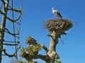 nesting-stork