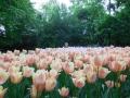 among-keukenhof-tulips