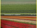 tulip-fields-keukenhof