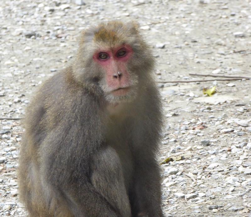 formosan-macaque-taroko