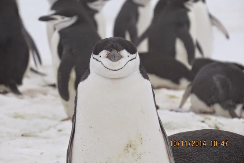 antarctica-chinstrap-penguin
