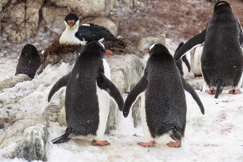 gentoo-penguins-antarctica