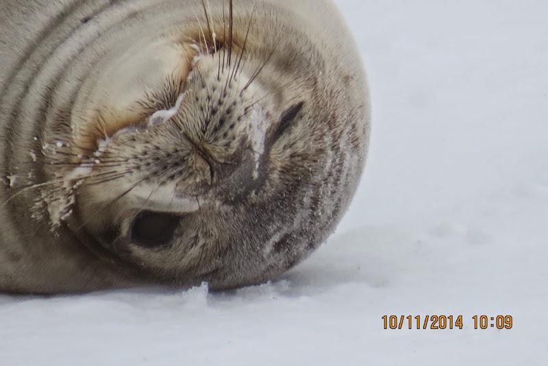 antarctica-weddell-seal