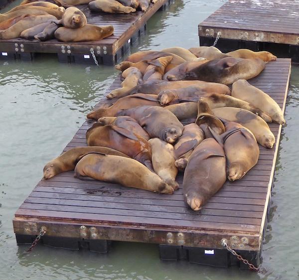 pier-39-sea-lions