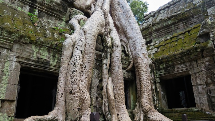 Ta-Prohm-huge-roots