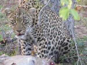 leopard-on-game-drive
